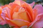 rose-pink-orange